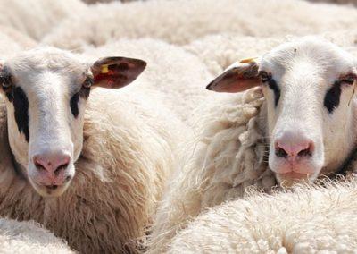 Tondeur de moutons